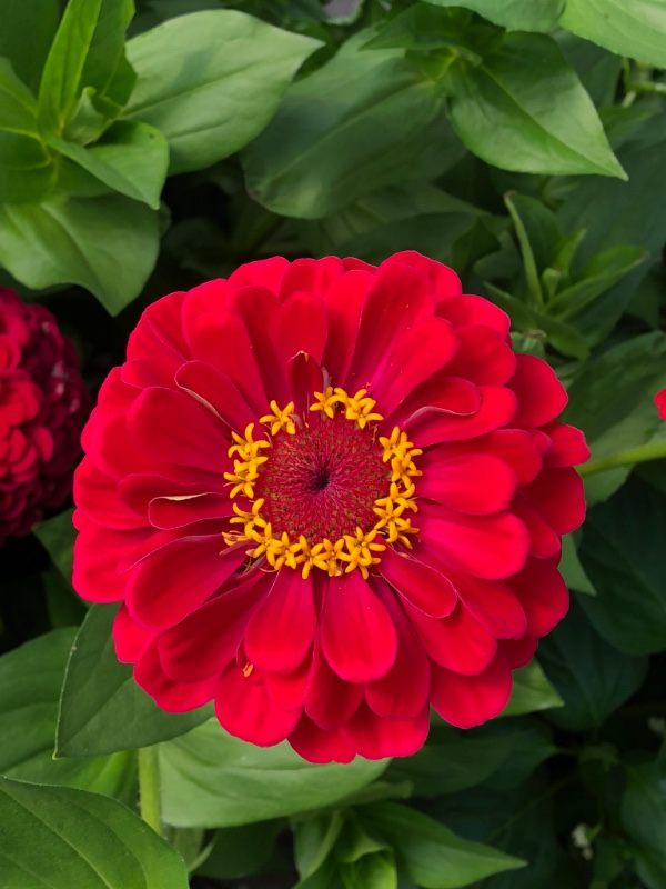 A bright red zinnia in the hoop house. I love the little inner circle of bright yellow florets - designed to attract the pollinators.