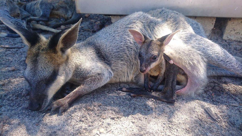 ワラビーも有袋類で、赤ちゃんがお母さんの袋から顔を出したり、出たりまた入ったりします(^^)