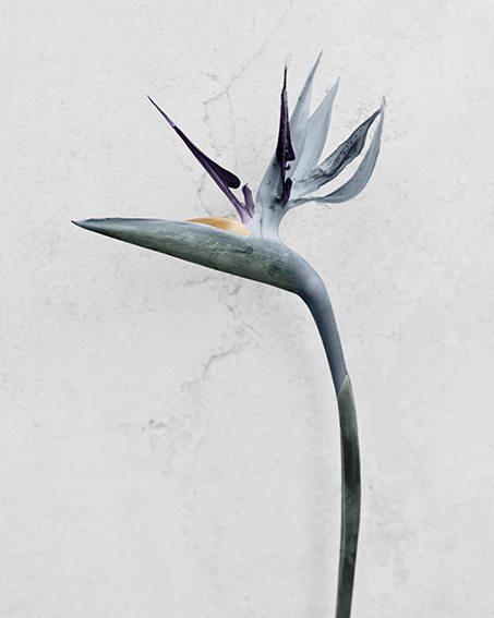strelitzia-reginae.jpg