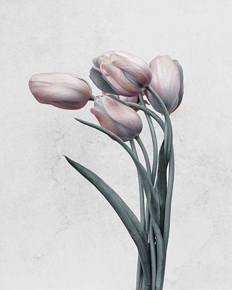 tulipa-gesneriana1.jpg