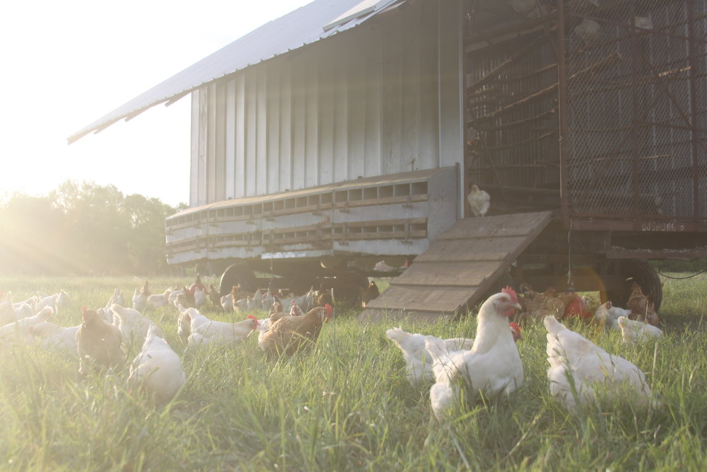 Laying hens: shelter design and considerations — The Pastoralist