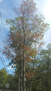 Oak Wilt Pics 270.jpg