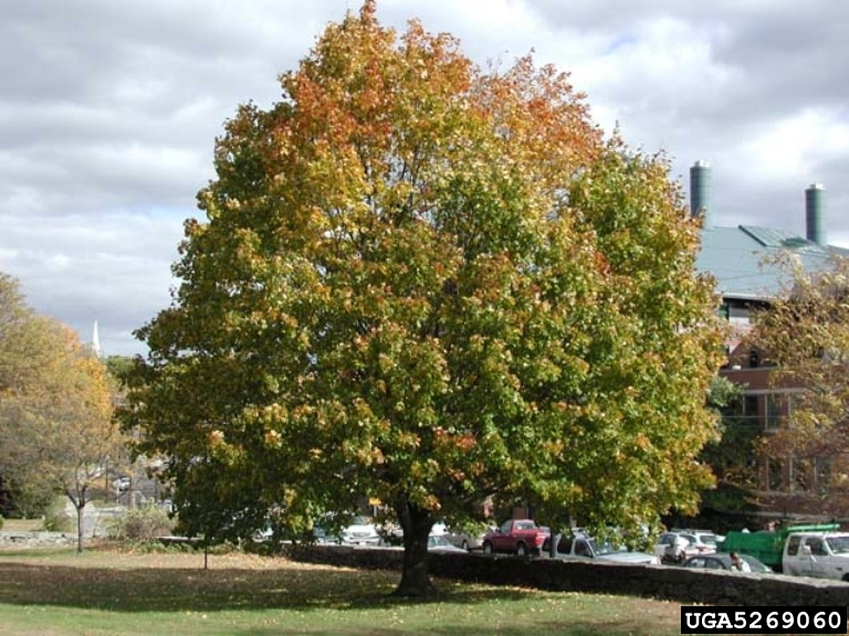 Noway Maple Tree.jpg