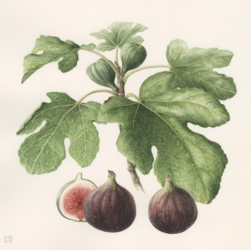 Figs, Midsummer