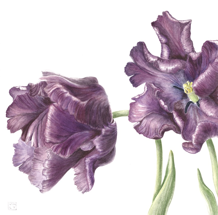 Tulipa'Muriel'