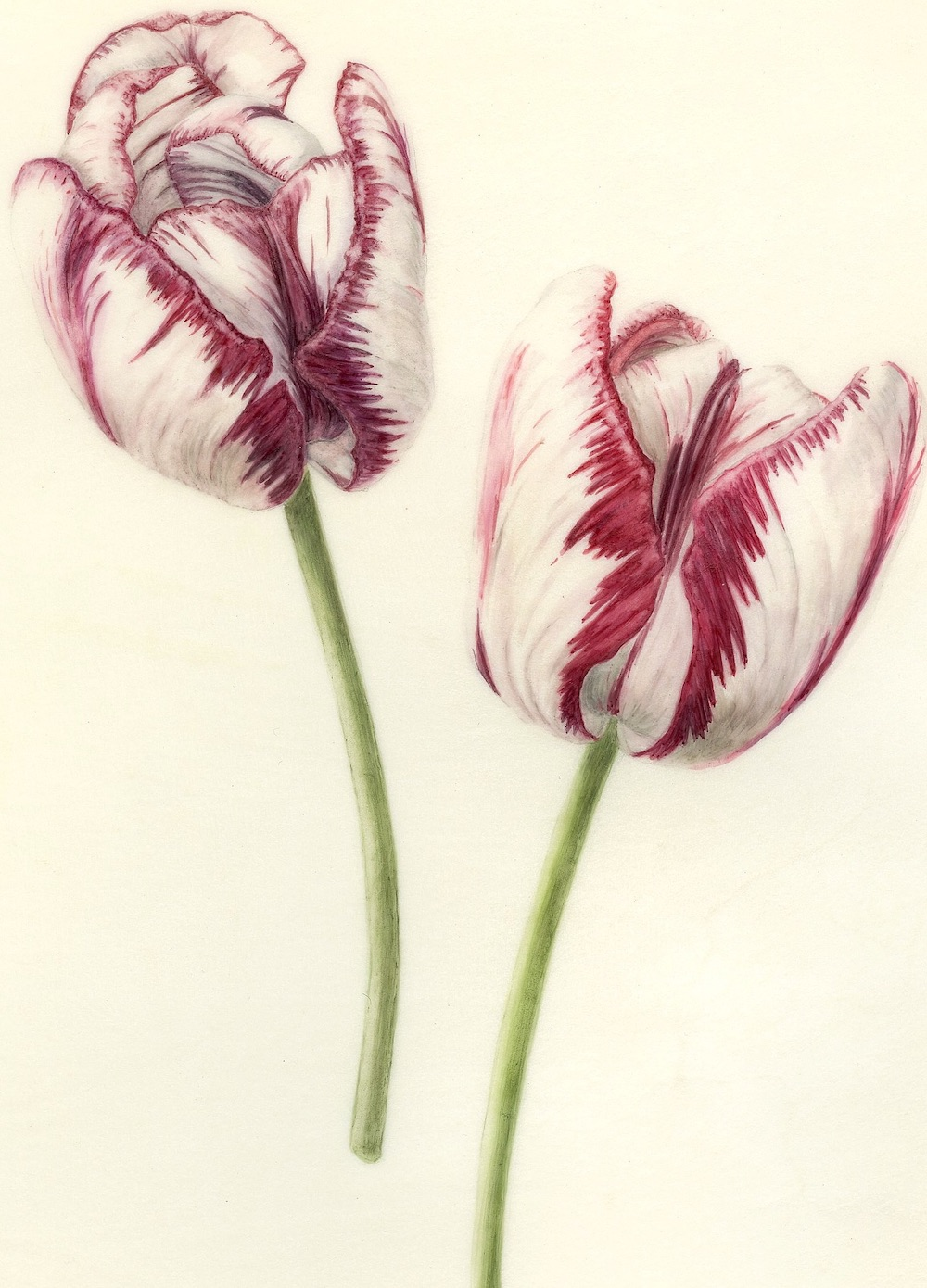 Wakefield Tulips, Feathers