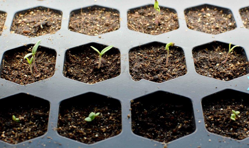 seedlings up.jpg
