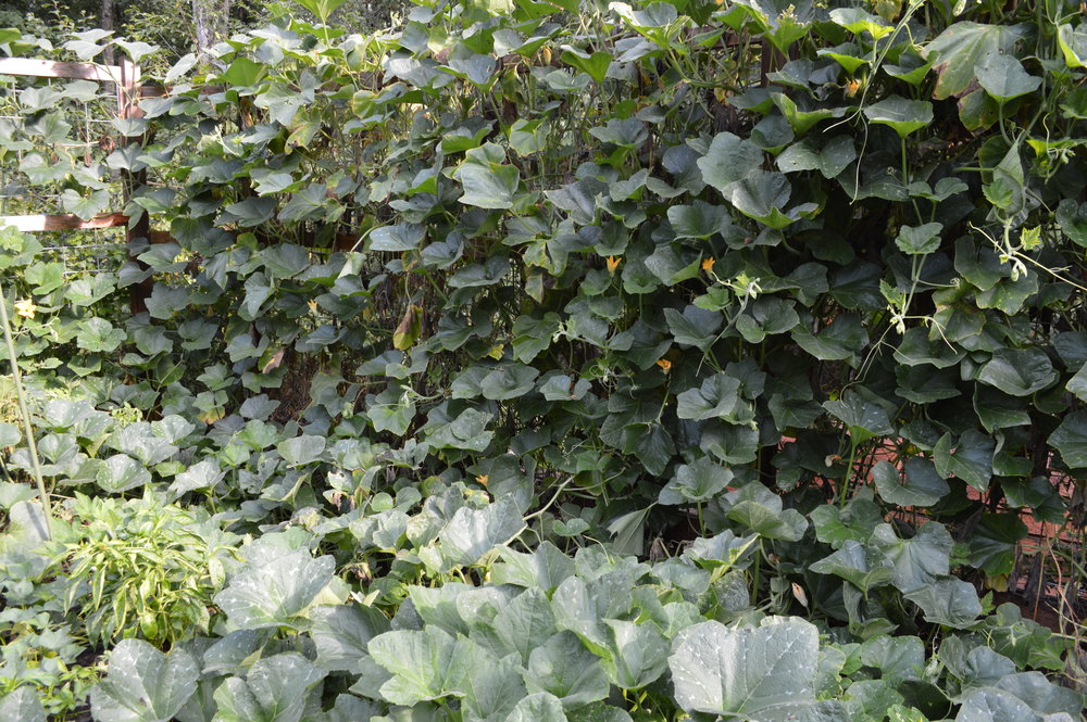 Spacing Vegetable Plants TOo tightly. jpg