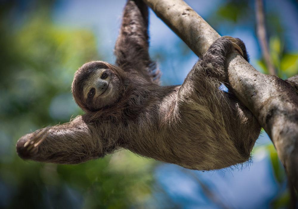Iquitos - Explora la increíble selva amazónica de Iquitos en una aventura única.Conocerán la vida salvaje en un tour de 3 días que incluirá: caminatas diurnas y nocturnas por la jungla, paseo en bote por el río Amazonas, pesca de pirañas, exploración de la vida silvestre como perezosos, monos, aves, caimanes y encuentro con una tribu nativa.