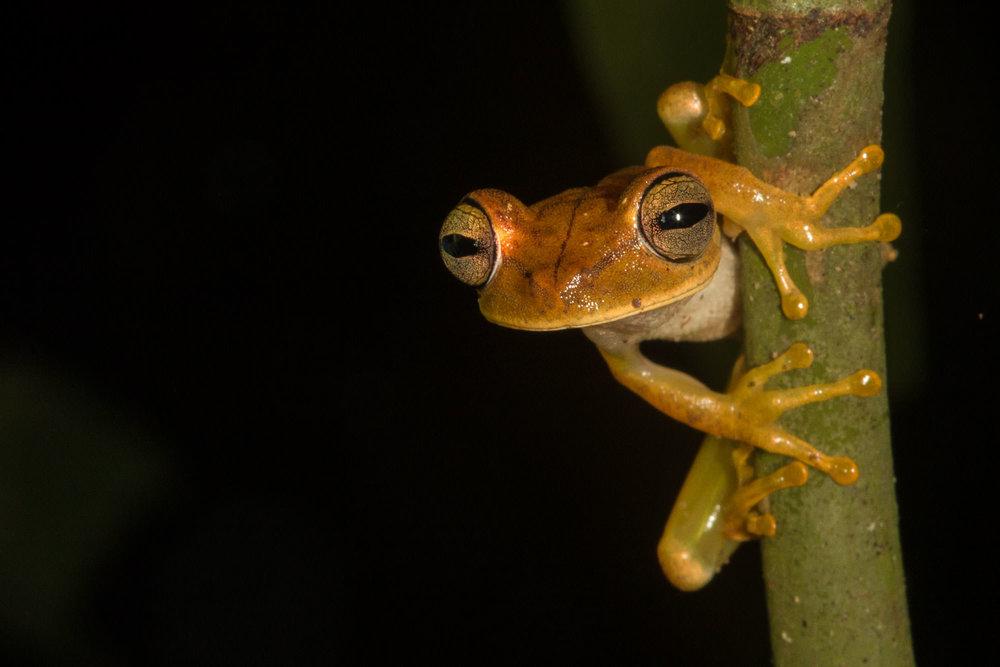 hyla-treefrog.jpg