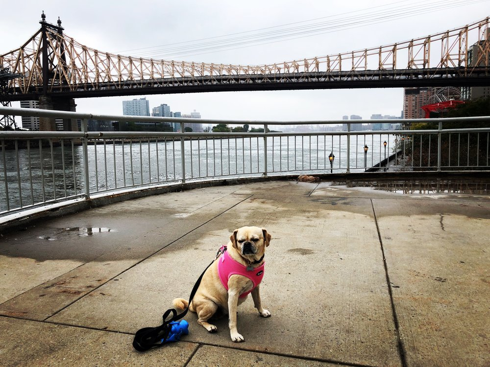Gert. Puggle in the City. (NYC 10/14/2017)