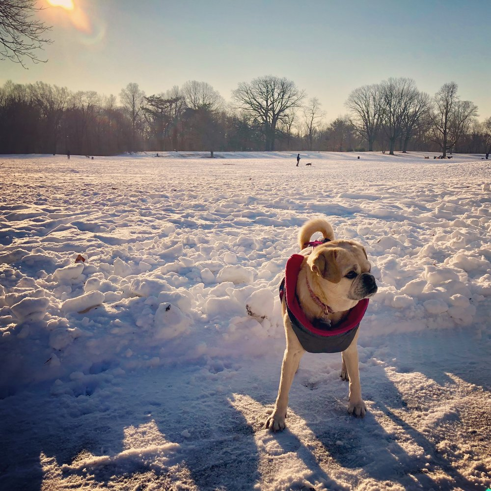 Where's that dog who pulls his sled up the hill by himself and then rides it down? Was really hoping to see him here. Wore my cute jacket and everything. Sigh (Prospect Park 1/2018)