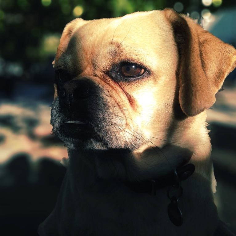 Noble Puggle (LA 2013)