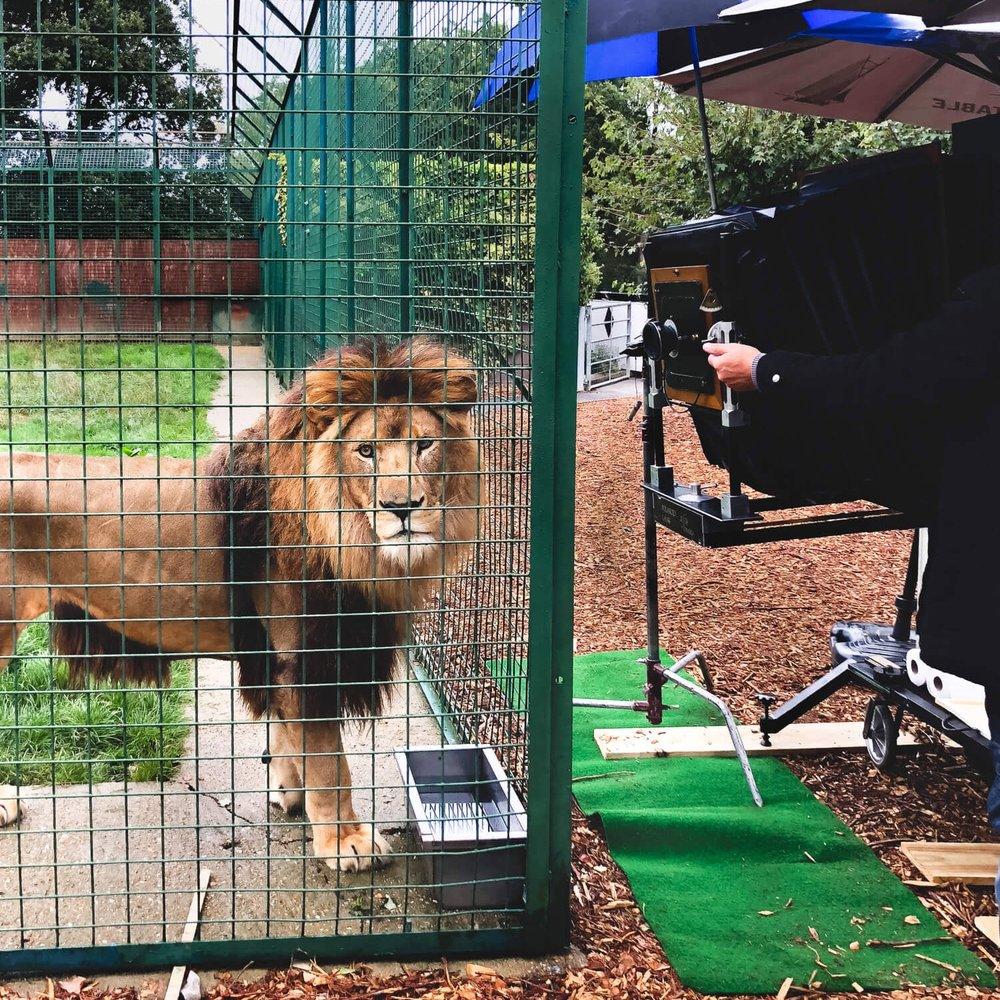 """BIG CAT SANCTUARY   """"Gazinga"""" as an awareness testemonial for endangered big cats   read more"""