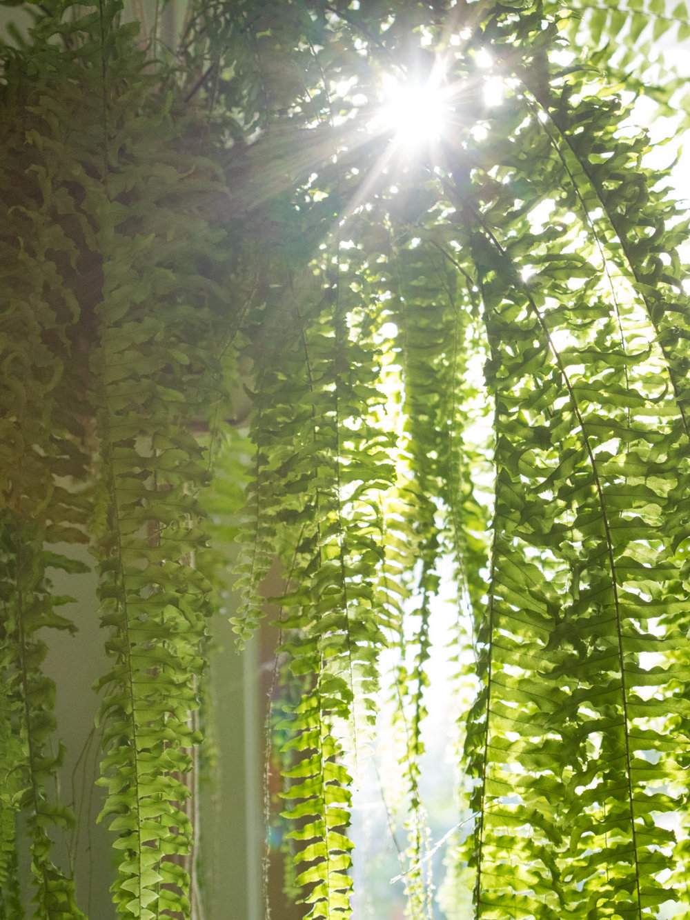 Boston Fern - Latin name: Nephrolepis exaltataPot: HangingWater: keep moist alwaysLighting: Morning and/or indirect sunPlanting medium: 1 part good quality potting mix 1 part coconut coir fibreFertilise:Once every 6 months with Dynamic Lifter pellets (teaspoon)Seasol (seaweed extract) once ever 2 months,Thrive high Nitrogen liquid fertiliser once every 3-4 monthsReproduction: Runners and spore (for much older plants)