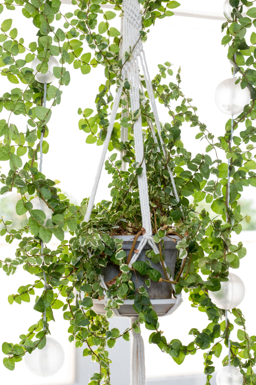 """Creeping Ficus - Latin name: Ficus pumila """"snowflake""""Pot: Hanging, selfWater: keep moist, occasionalLighting: Indirect, shade, can actually tolerate full sun over timePlanting medium: 1 part good quality potting mixFertilise:Once every 6 months with Dynamic Lifter pellets (teaspoon)Seasol (seaweed extract) once ever 2 monthsThrive high Nitrogen liquid fertiliser once every 3-4 monthsReproduction: stem cuttings, root division"""