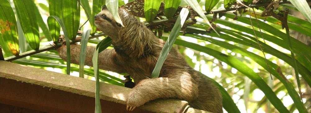 Drake Bay Resort Sloth