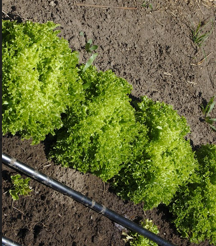 Salanova lettuce, with irrigation dripline