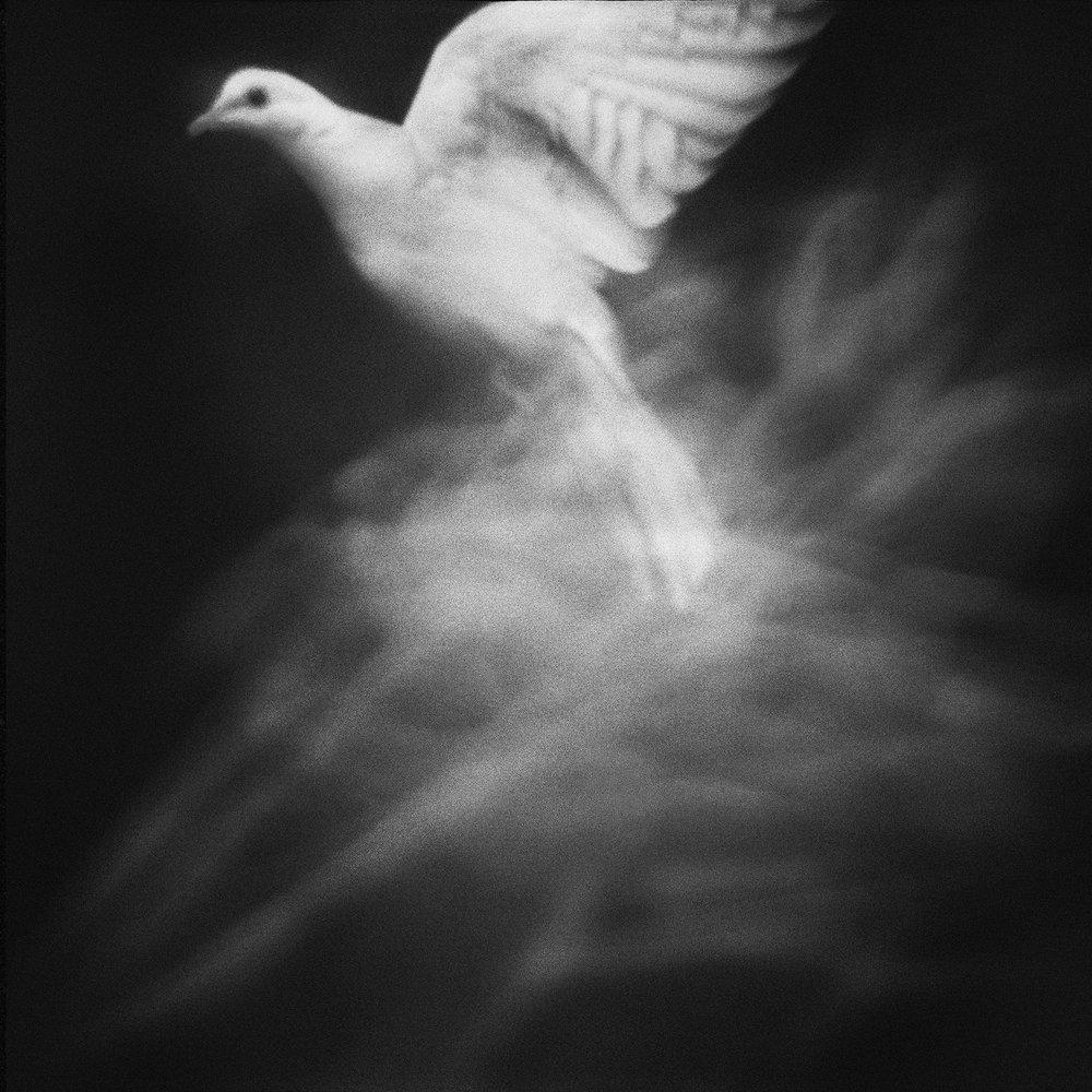 Untitled (dove rising), 2010