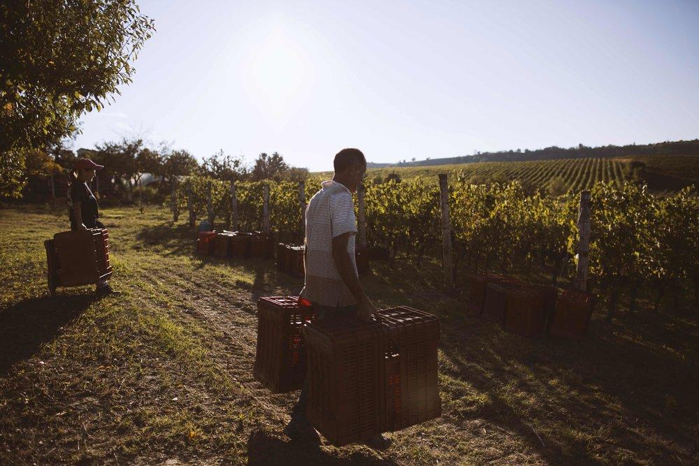 langhe - monferrato harvest time