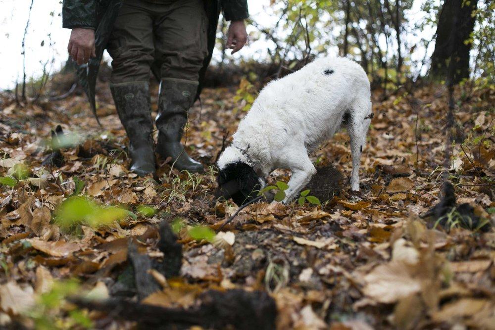 alba white truffle hunting with dog