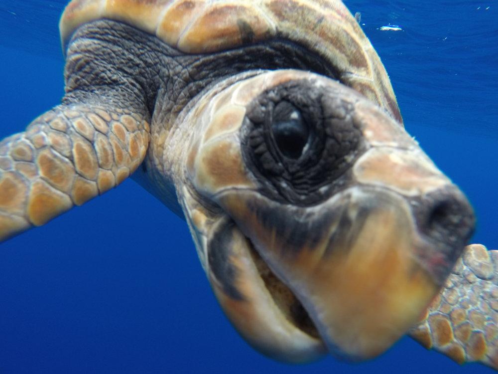 Atlantic2015_wildlife_sea turtle close up.JPG
