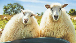 8-hands_2 sheep.jpg