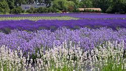 Lavender By the Bay.jpg