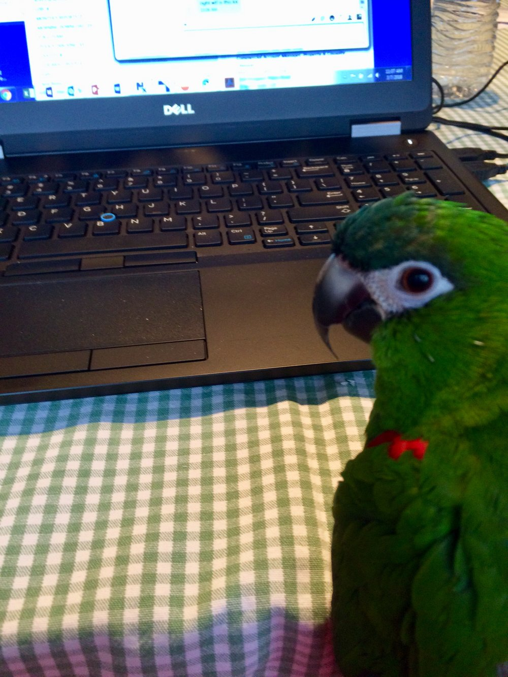 """Kiwi Cornelius Gullace was a green-feathered, 19 year-old miniature macaw. His main catch phrases were """"Say hello!"""" and """"Kiwi good boy?"""". He also liked to laugh, roll his R's, and make a sound that goes """"Wakahwakahwakwakah."""", He loved dancing, tug-of-war, raviolis, and mini-wheats. He was extremely protective over Gullace's mom and would most likely attack you if you are not her. He was an absolute joy to talk to, though."""