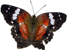 butterfly-1373808.jpg