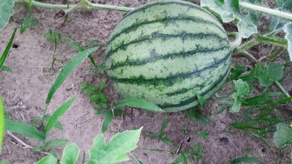 Tom Kumpf - BabyWatermelon.jpg