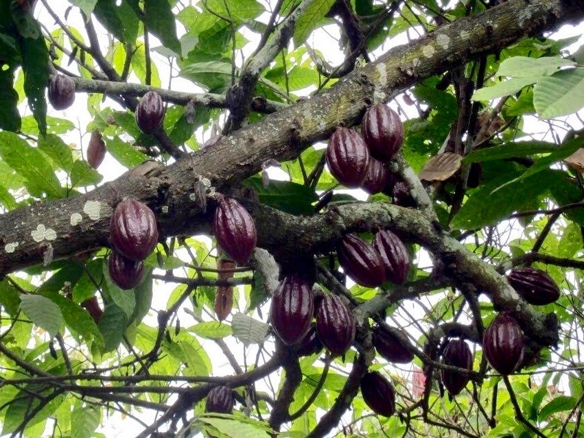 wild-cacao-1.jpg