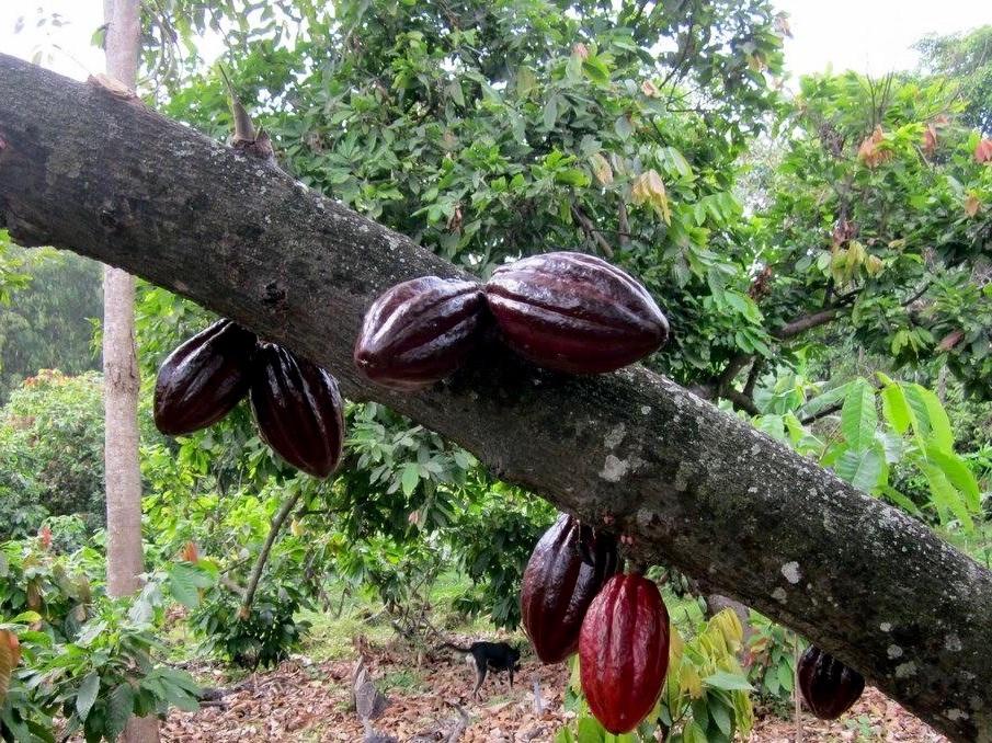 wild-cacao-3.jpg