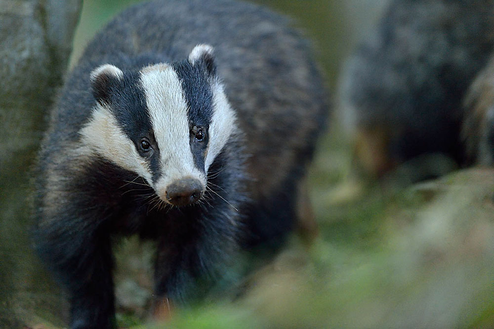 badgers -
