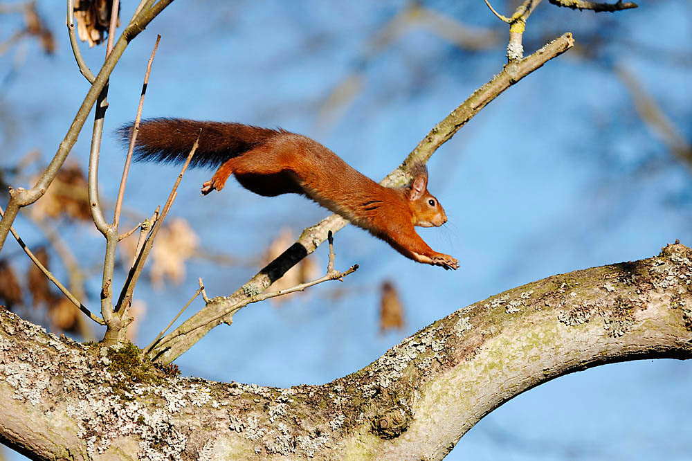 red squirrels -