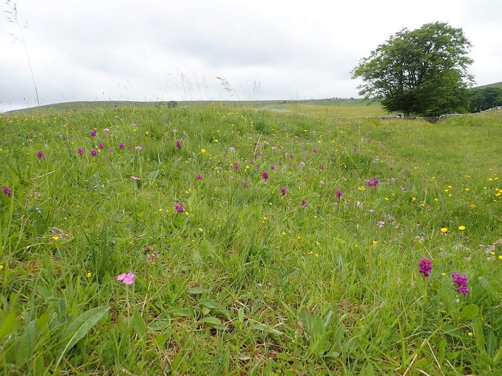Cumbria Hay Meadow