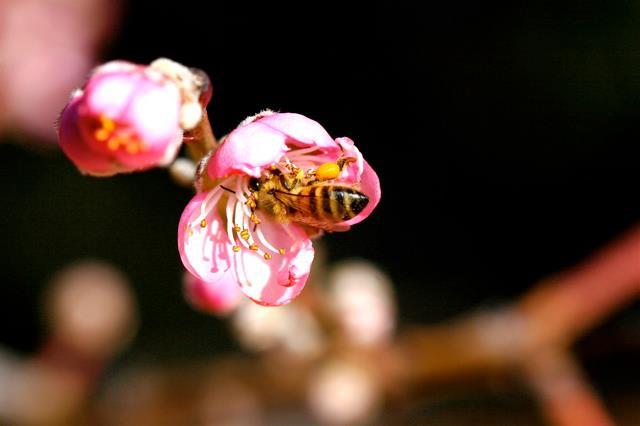 bee on blossom.jpg