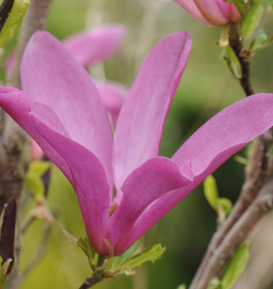 Magnolia 'Susan'12 L pot - £79.99