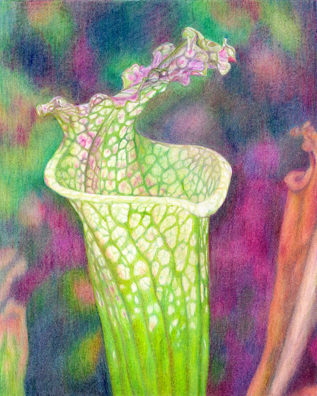 """""""PITCHER PLANT"""",  Color pencil on Bristol Paper,  10x12 inches,  IN PRIVATE COLLECTION"""