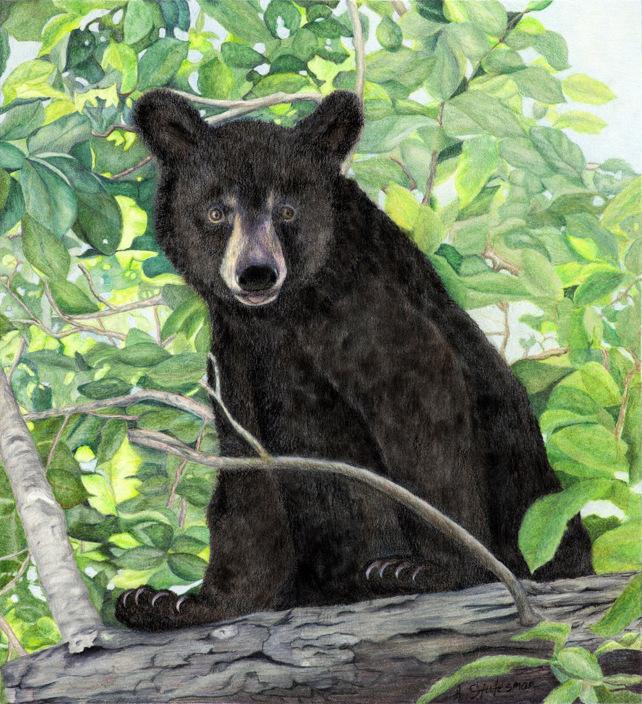 """SPIRIT BEAR"",  Mixed Media (Color pencil with Pastel) on Bristol Paper,  11x14 inches,  SOLD"