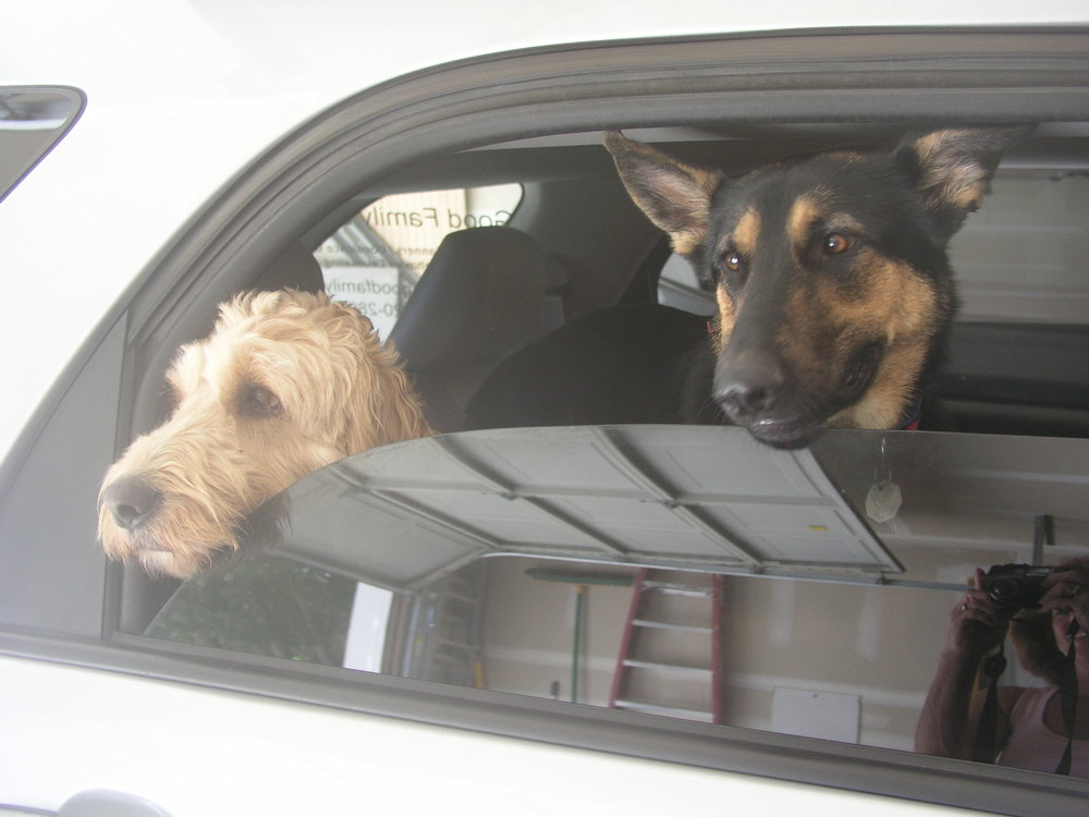 dogs-waiting-in-car.jpg