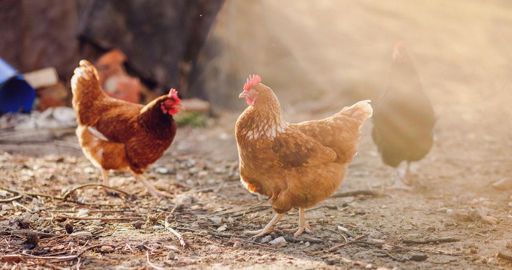 wildlife_chickens.jpeg
