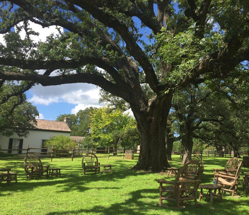 500+ year-old Heritage Oak