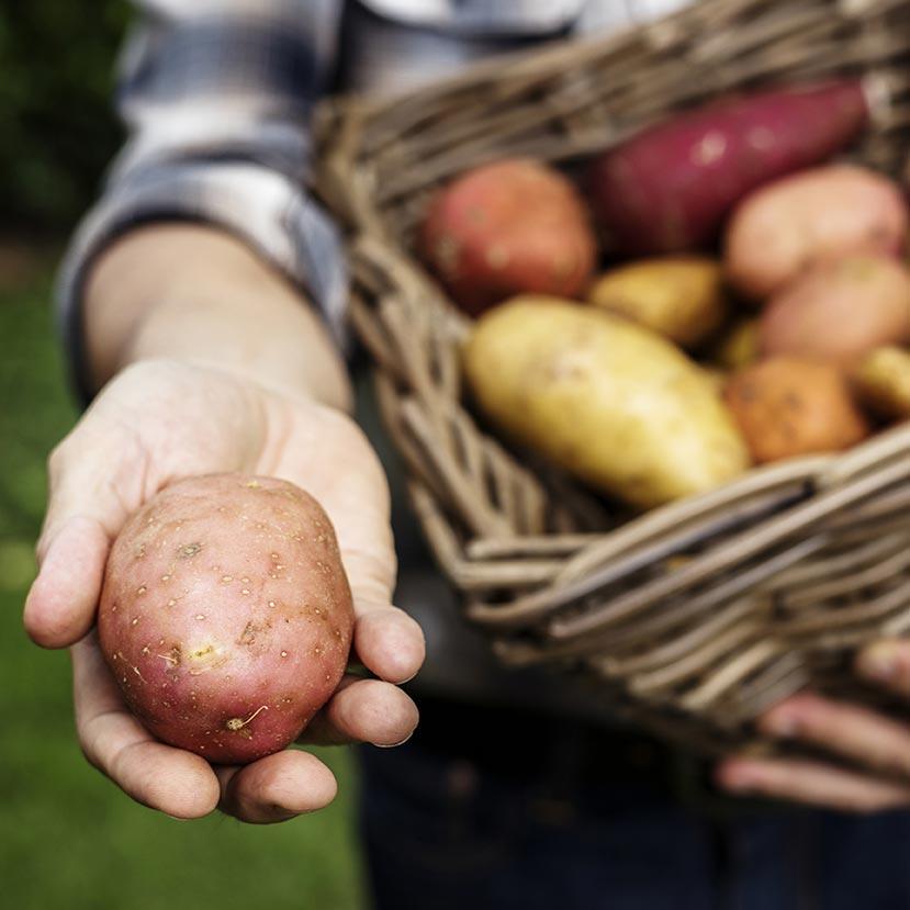 Potatoes from    Jordan's Farm    in Cape Elizabeth, ME