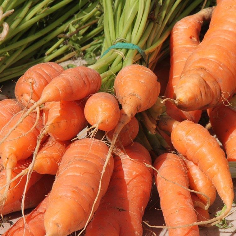 Organic Carrots from    Goranson Farm    in Dresden, ME
