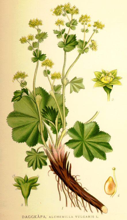 Nordens_flora_Alchemilla_vulgaris.jpg