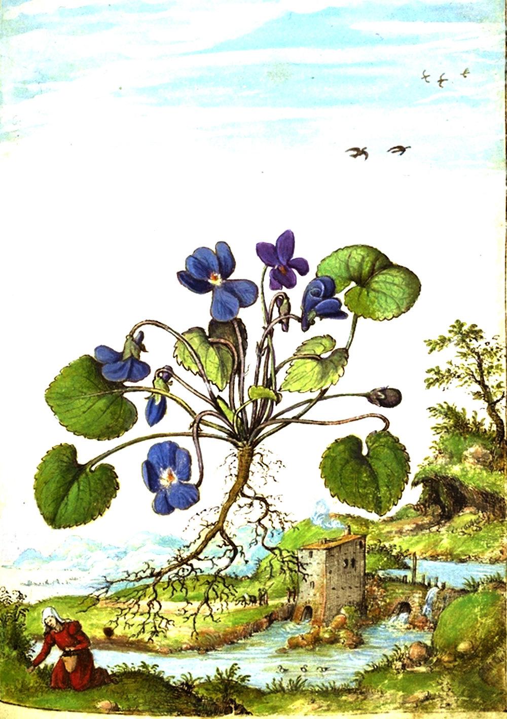 Antique botanical prints from Zorn 1779-1790 Violet, Viola odorata