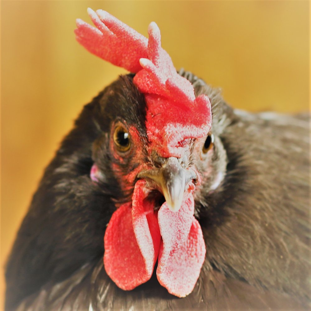 wormuth_farm_hen_portrait_9.jpg
