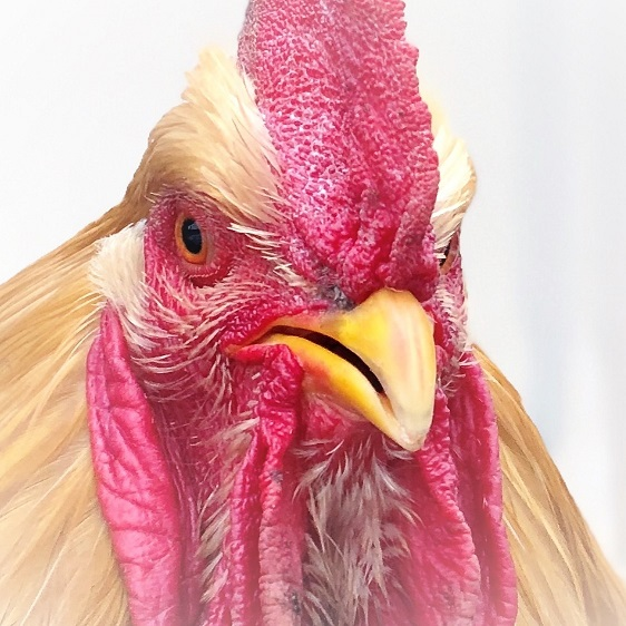 wormuth-rooster-eureka.jpg