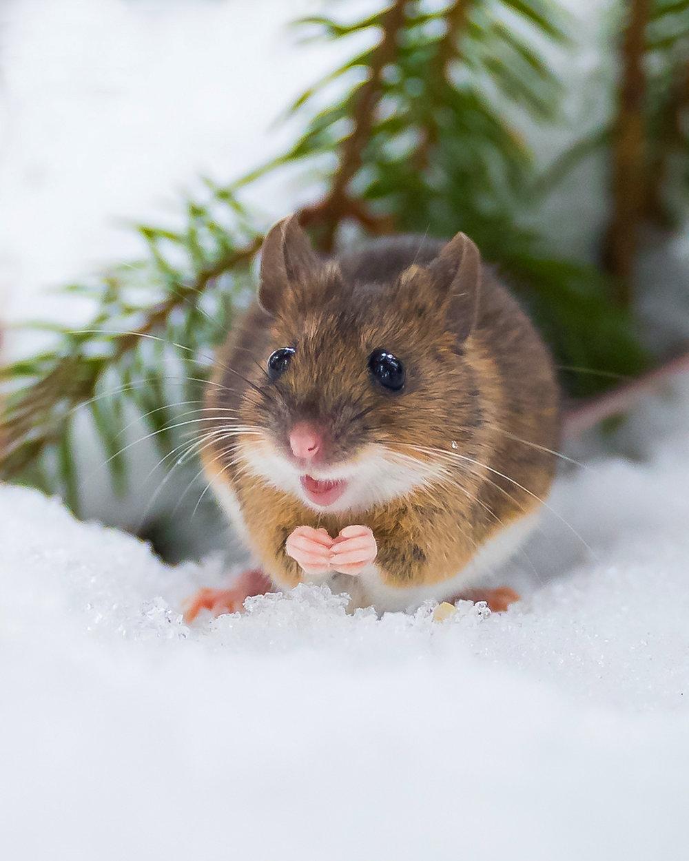 bilbo the mouse -